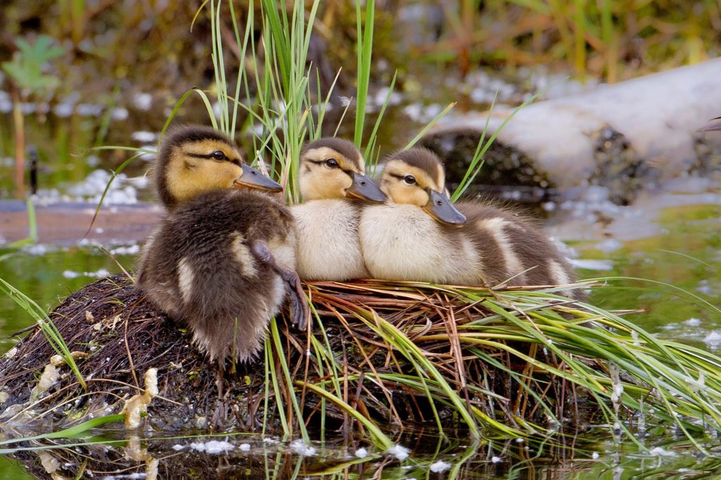 Stock Photo: 4289-14064 Three Mallard Chicks rest on an abandoned Grebe nest, Taku Lake, Anchorage, Southcentral Alaska, Summer