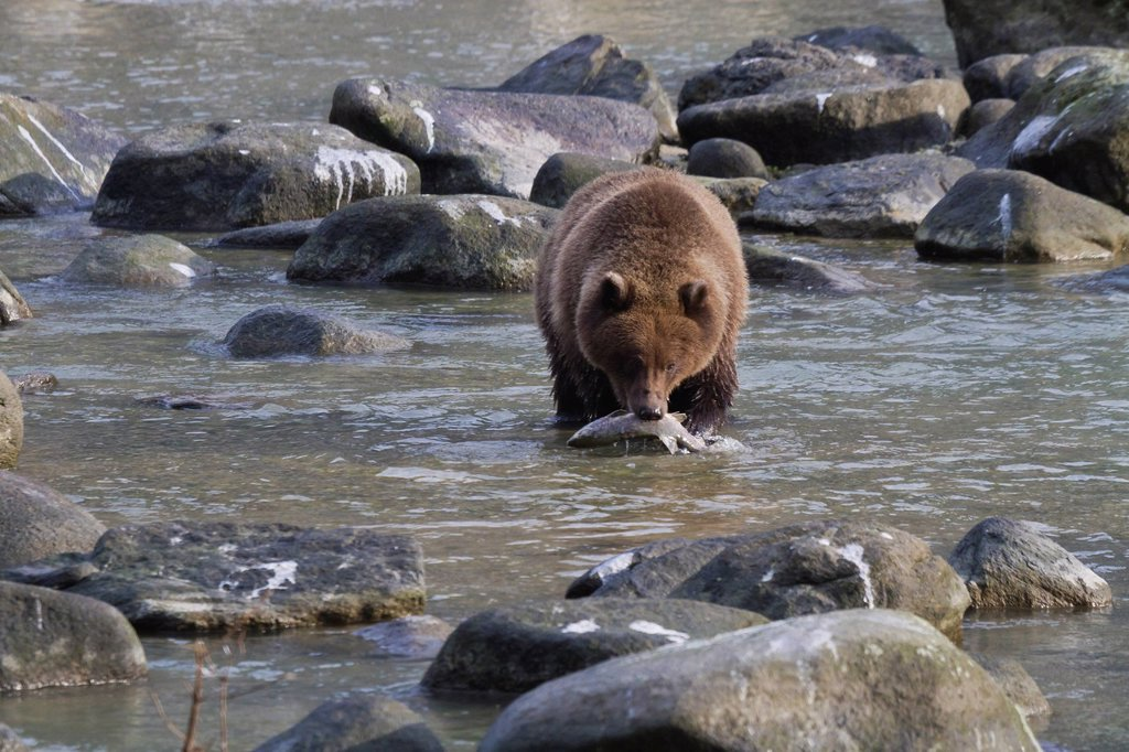 Stock Photo: 4289-14076 Brown Bear catches a spawning salmon, Chilkoot River near Haines, Southeast Alaska, Autumn