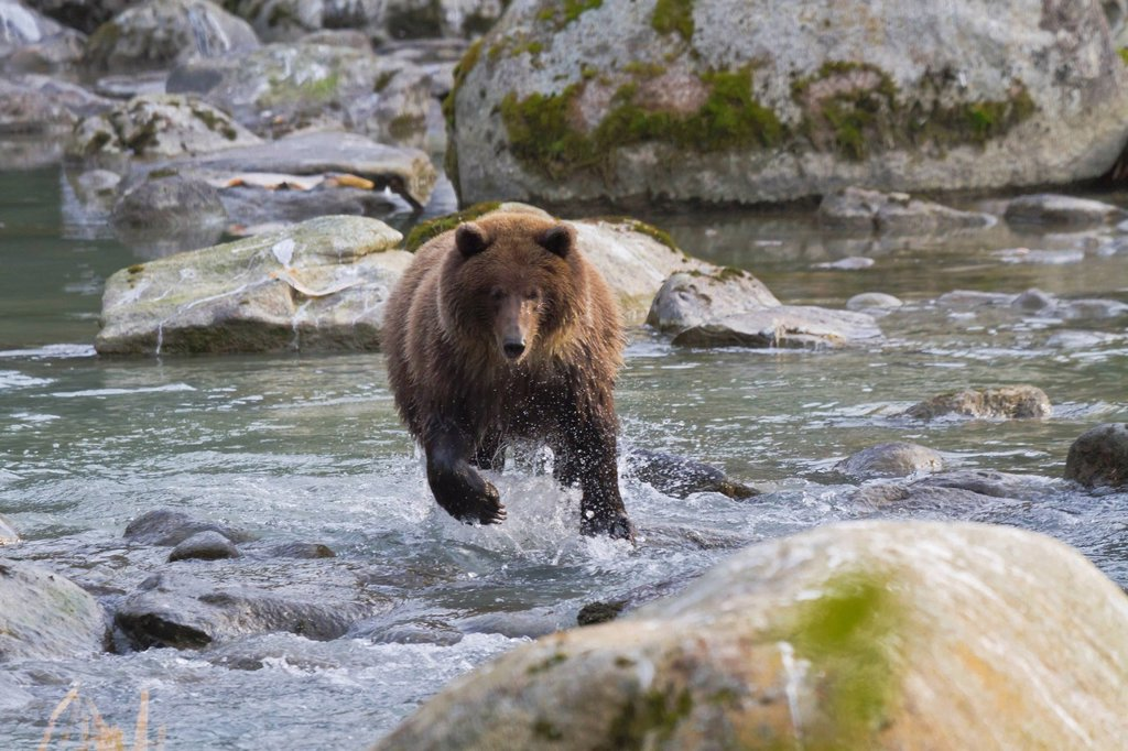 Stock Photo: 4289-14078 Brown Bear chases spawning salmon in the Chilkoot River near Haines, Southeast Alaska, Autumn