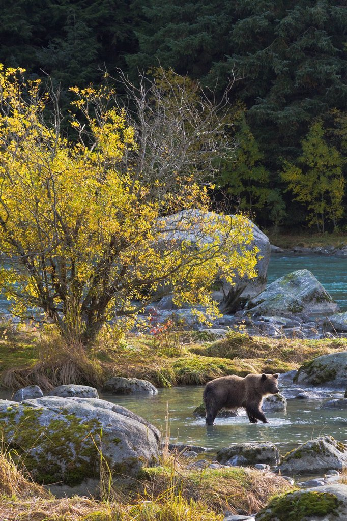 Stock Photo: 4289-14079 Brown Bear stands in the Chilkoot River fishing for spawning salmon near Haines, Southeast Alaska, Autumn
