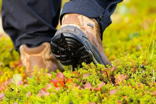 Close up of the backside of a hiker´s boots hiking on colorful tundra in Denali National Park, Interior Alaska, Autumn/n : Stock Photo