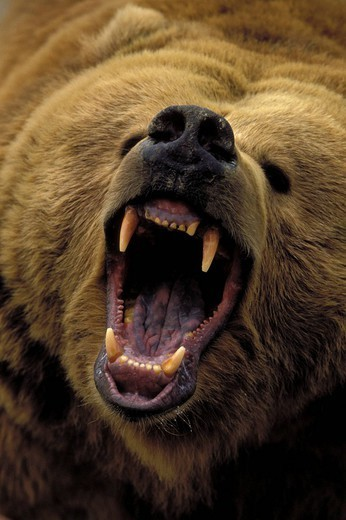 Close up of Grizzly bear growling Captive Alaska : Stock Photo
