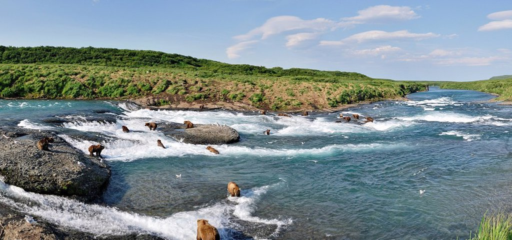 Stock Photo: 4289-20226 Panoramic view of a large gathering of Grizzly fishing for Chum salmon at McNeil River Falls in the McNeil River State Game Sanctuary, Southwest Alaska