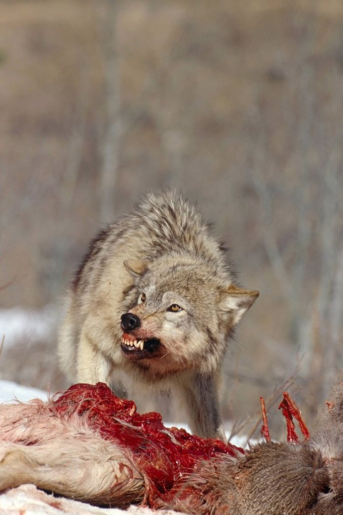Stock Photo: 4289-21202 Grey Wolves Feeding on Deer Carcass Winter