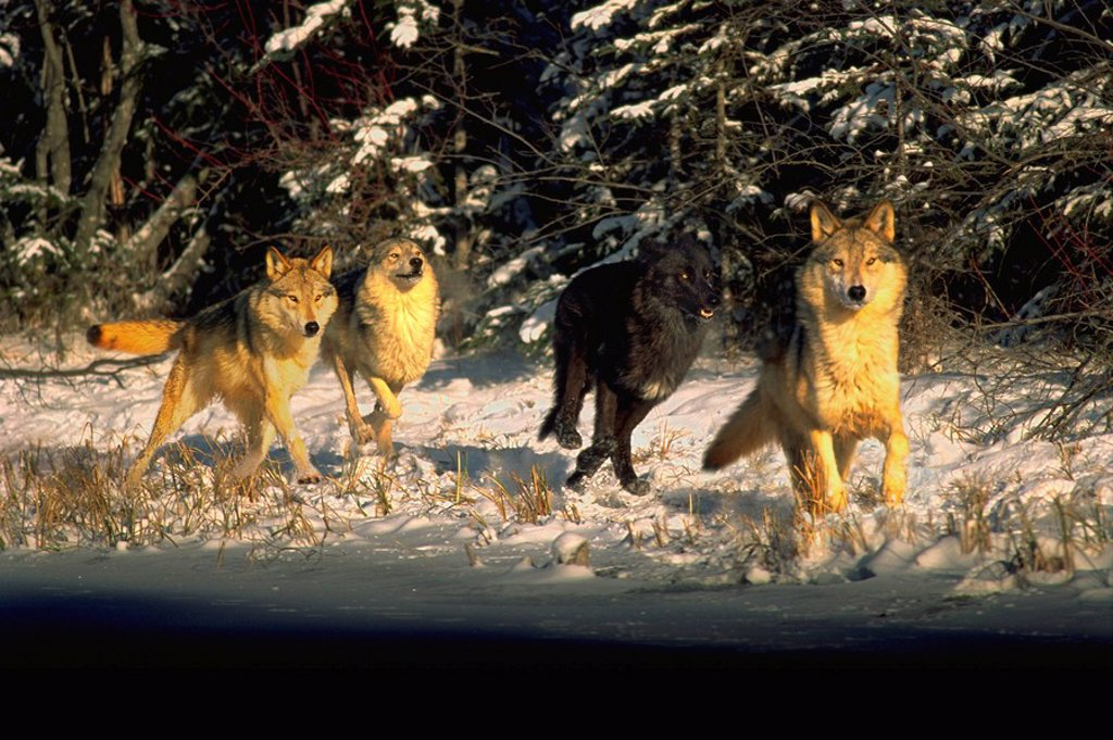 Stock Photo: 4289-21272 Wolf Pack running in snow Digital Image