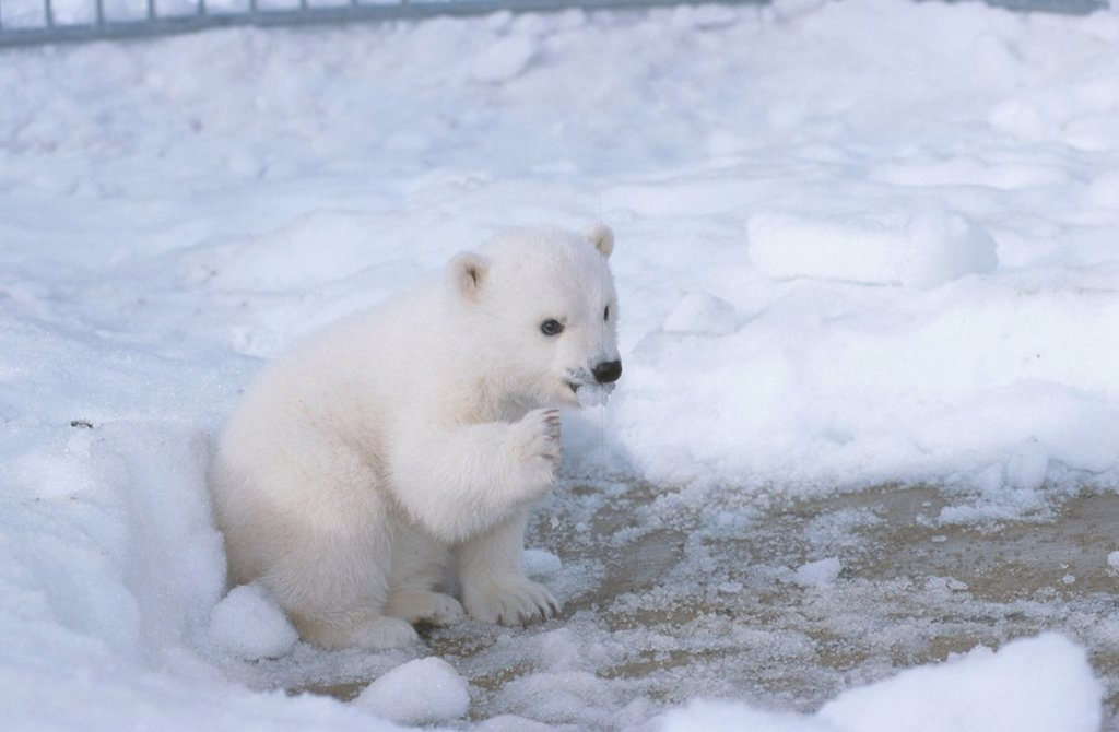 Female Polar Bear Cub At Alaska Zoo Anchorage SC AK/nCaptive : Stock Photo