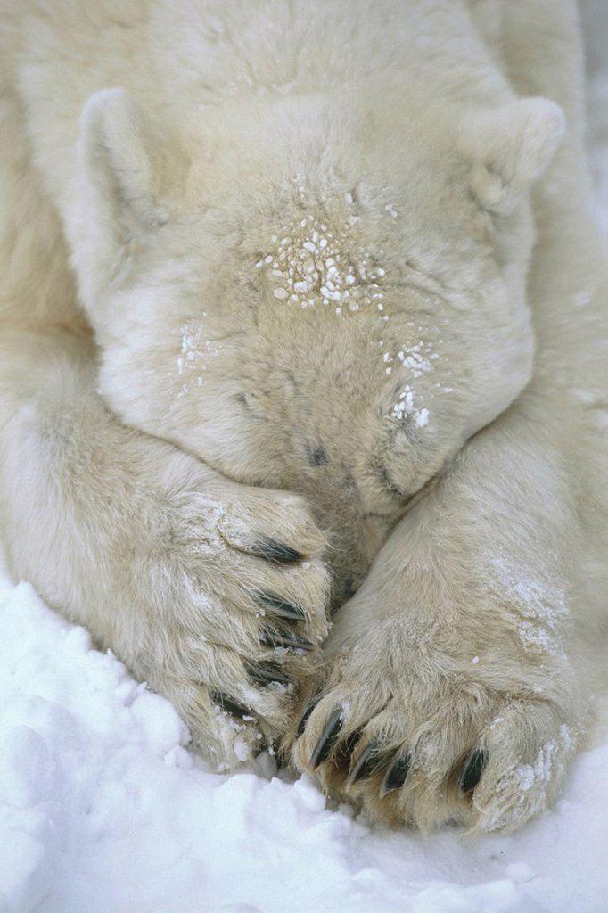 Polar Bear paws cover face Cape Churchill Manitoba Canada winter portrait : Stock Photo