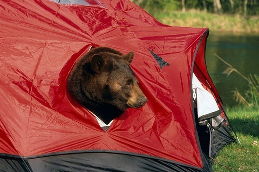 Stock Photo: 4289-22808 Captive Black Bear Plays Inside Red Tent Minnesota