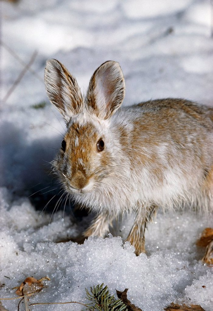 Snowshoe Hare in Molting Stage Denali NP IN Spring in Snow : Stock Photo