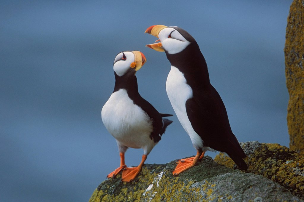 Horned Puffin pair on ledge with one calling in courtship display, Round Island, Walrus Islands State Game Sanctuary, Bristol Bay, Southwest Alaska : Stock Photo