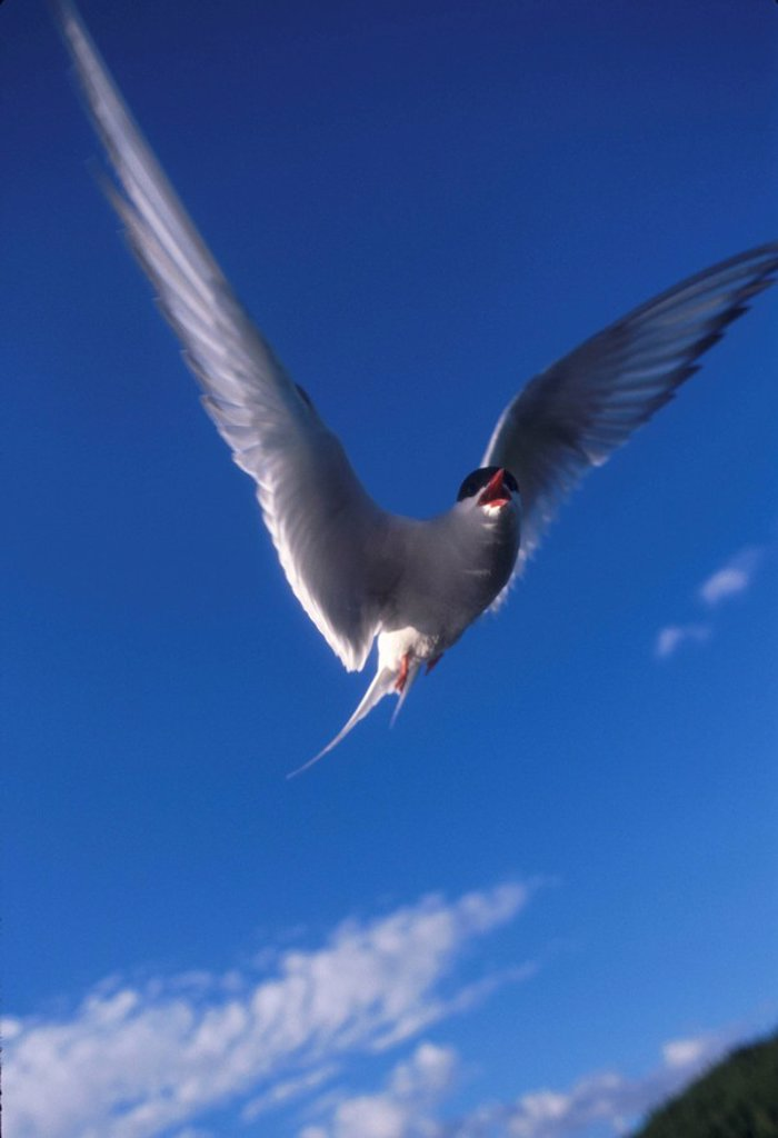 Arctic Tern in Flight Potter Marsh Game Sanctuary ANC AK Summer : Stock Photo
