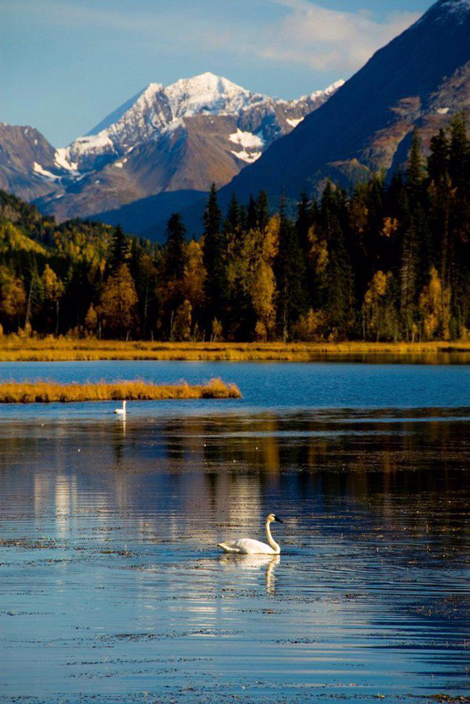 Trumpeter Swans on Tern Lake in Autumn, Kenai Peninsula, Alaska : Stock Photo