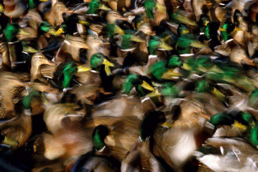 Mallard ducks grouped together Male & Female AK : Stock Photo