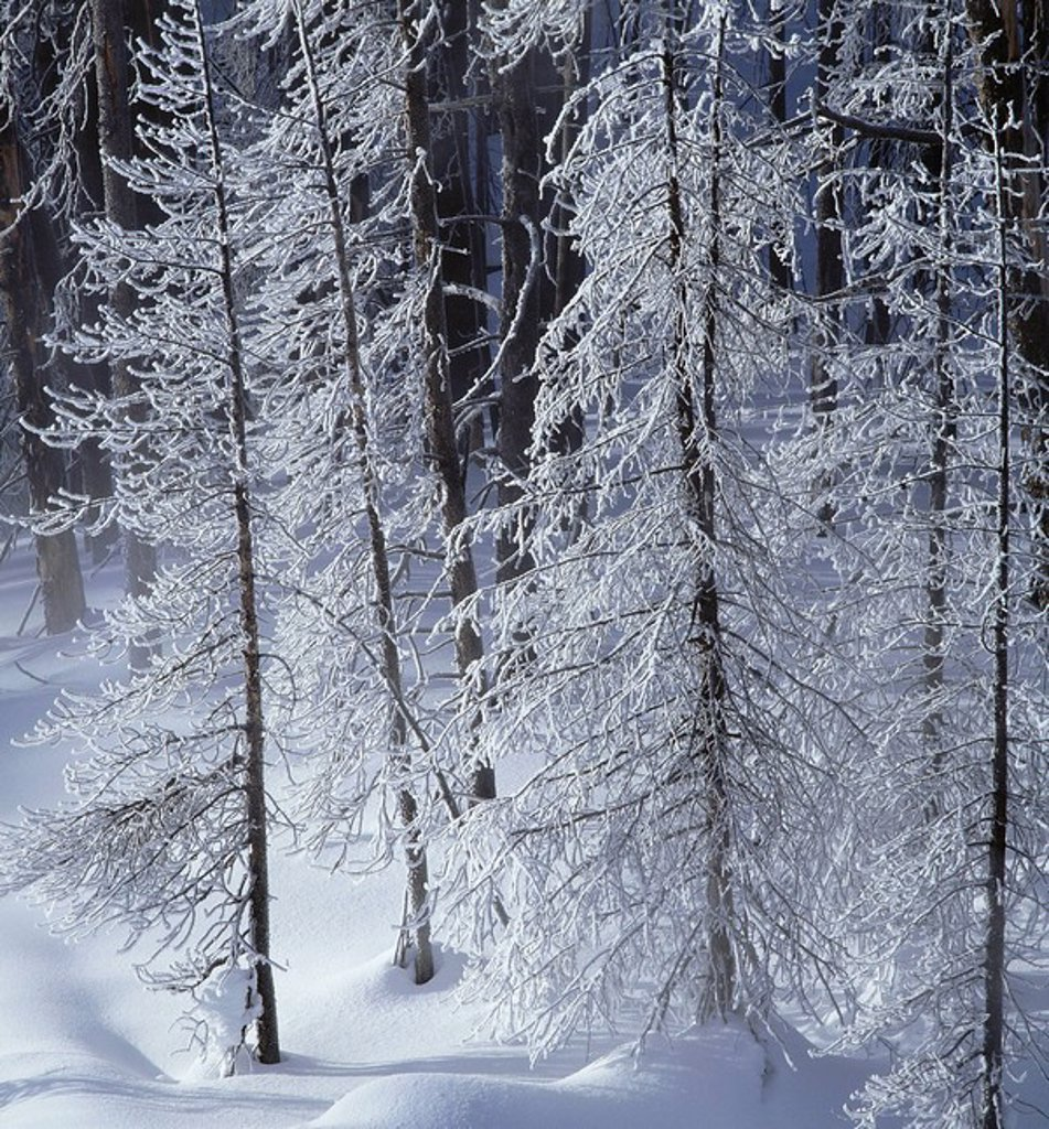 Snowcovered Trees Winter Teton National Forest WY : Stock Photo