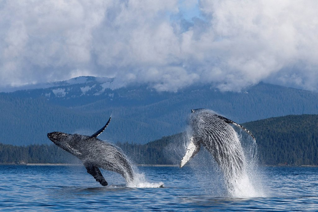 Stock Photo: 4289-34251 Two Humpback whales breach from the waters of Lynn Canal, Inside Passage, Southeast Alaska, Summer. Composite