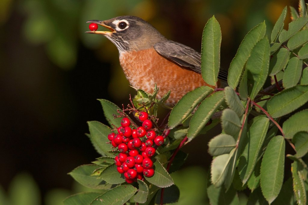 Stock Photo: 4289-35793 American Robin perched on branch eating a Mountain Ash berry, Cordova, Southcentral Alaska, Autumn