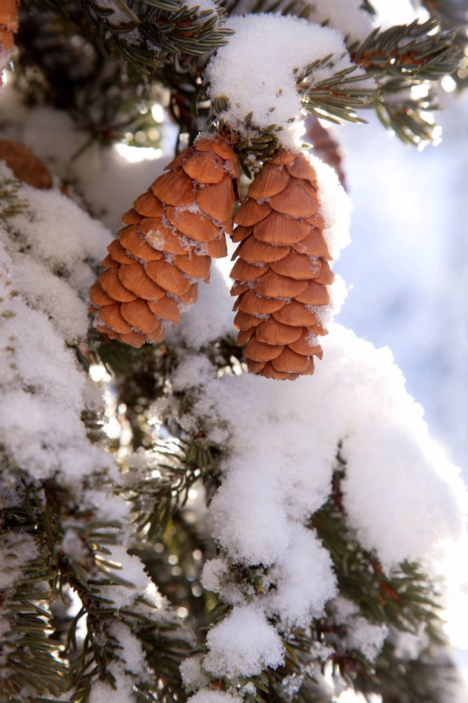 Stock Photo: 4289-9059 Close up of Red Elderberries and cones on snow_covered evergreen tree, Alaska, Winter