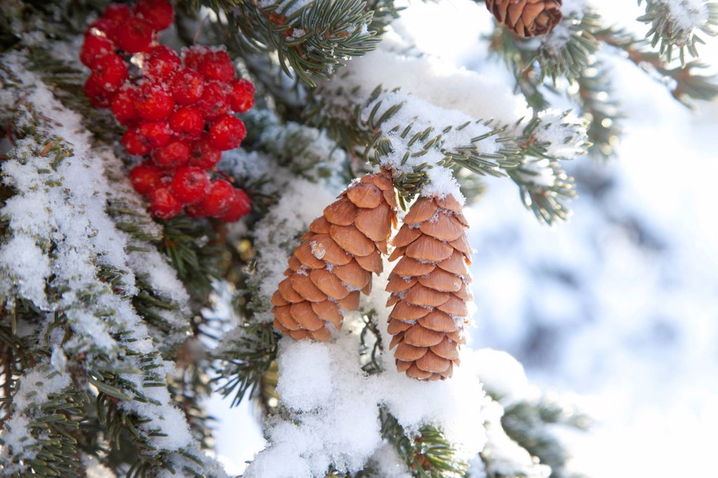 Stock Photo: 4289-9067 Close up of Red Elderberries and cones on snow_covered evergreen tree, Alaska, Winter