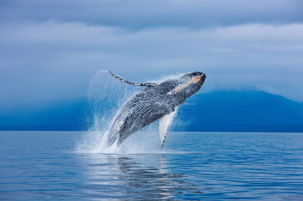Stock Photo: 4289-9266 A Humpback whale breaches along the shoreline of Chichagof Island in Chatham Strait, Inside Passage, Tongass National Forest, Admiralty Island, Southeast Alaska, Summer. COMPOSITE