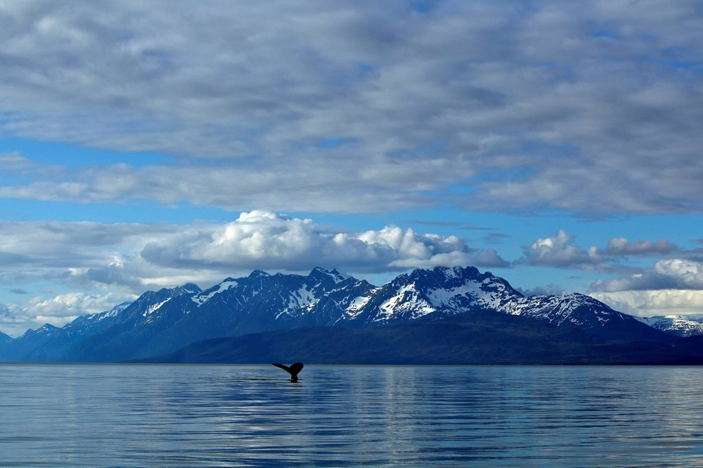 Stock Photo: 4289-9403 Humpback Whale fluking in Lynn Canal, Inside Passage, Southeast Alaska, Summer