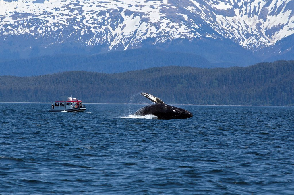 Stock Photo: 4289-9409 Tourists on wildlife tour watch as a Humpback Whale breaches in Lynn Canal, Inside Passage, Southeast Alaska, Summer