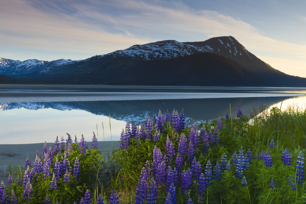 Scenic view of lupine along Turnagain Arm at sunset near Twentymile River with Alpenglow over the Chugach Mountains, Chugach National Forest, Southcentral Alaska, Summer : Stock Photo