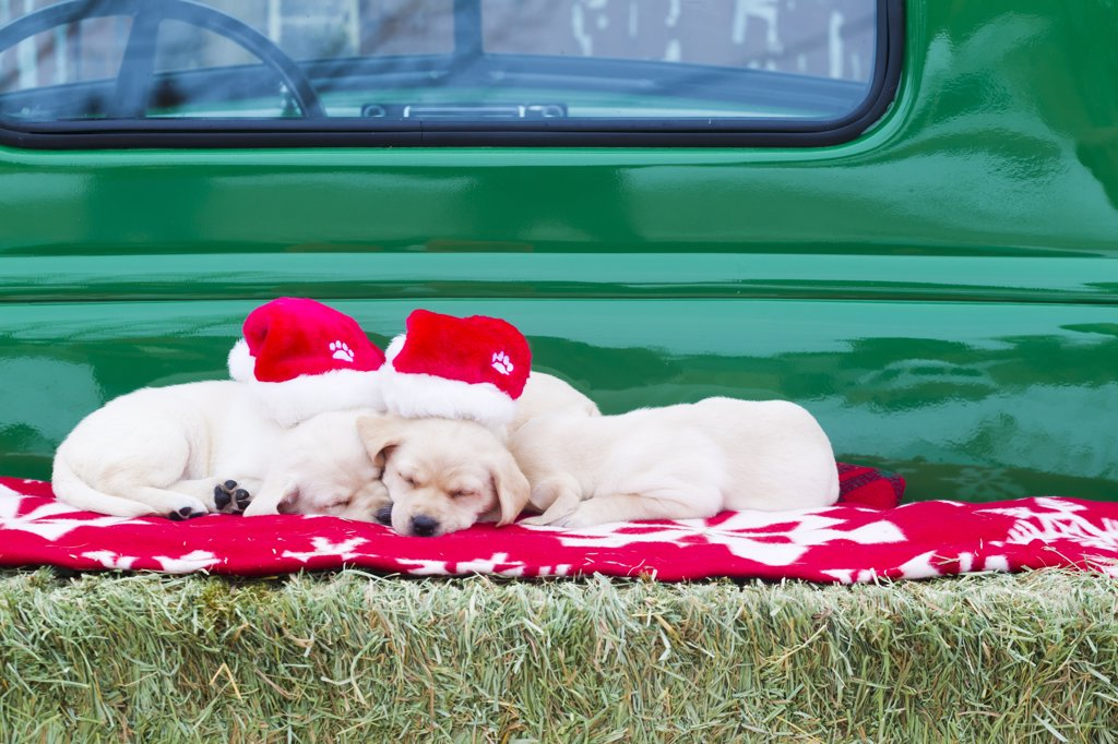 Stock Photo: 4289-9899 Young Labrador Retriever puppies wearing Santa hats asleep on a bale of hay in the back of a classic Chevrolet 1950 pickup, Hailey, Idaho, Winter