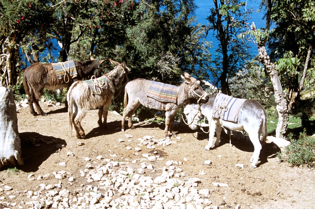 Stock Photo: 4290-10118 Four donkeys, Lake Titicaca behind, Sun Island, near Copacabana, Bolivia