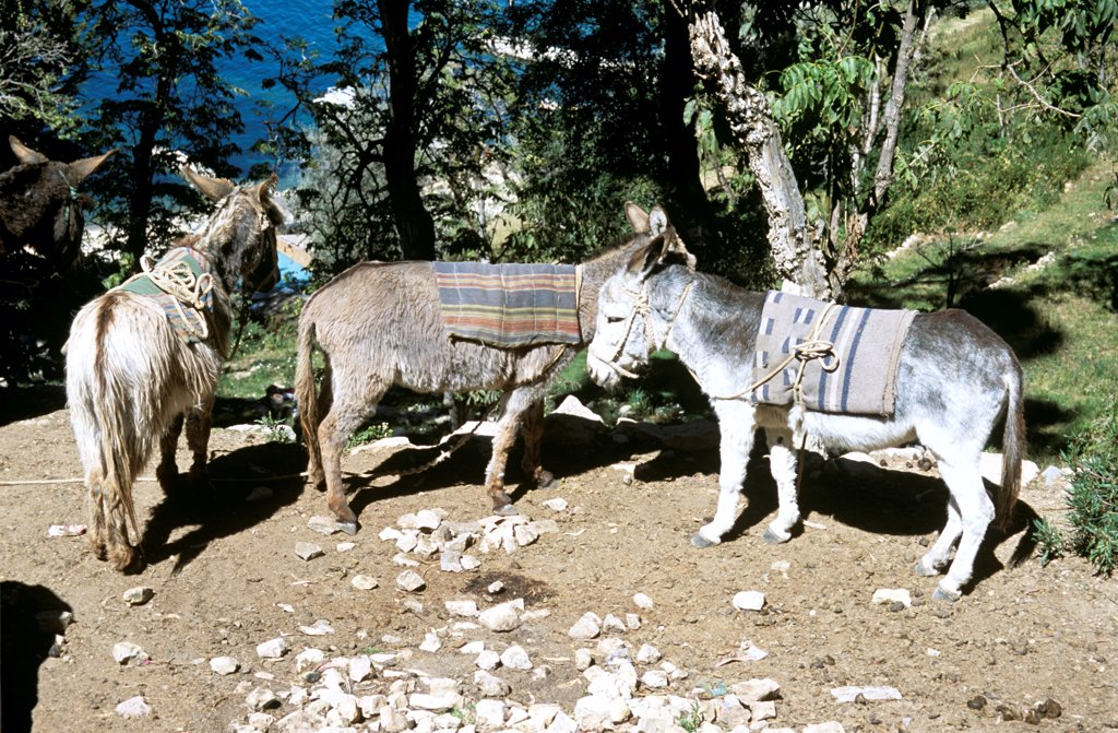 Stock Photo: 4290-10119 Three donkeys, Lake Titicaca behind, Sun Island, near Copacabana, Bolivia