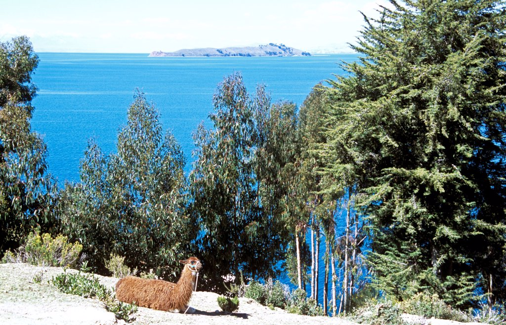 Stock Photo: 4290-10120 Llama on Sun Island, Inti Wata Cultural Complex, Lake Titicaca and Moon Island behind, near Copacabana, Bolivia