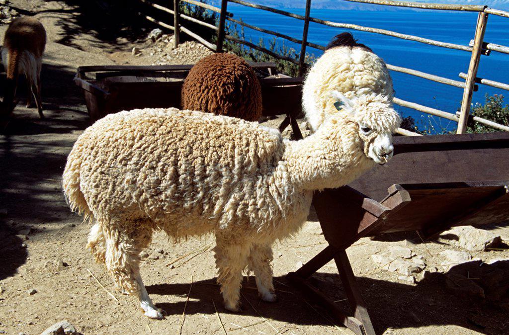 Stock Photo: 4290-10123 Alpaca on Sun Island, Inti Wata Cultural Complex, Lake Titicaca, near Copacabana, Bolivia
