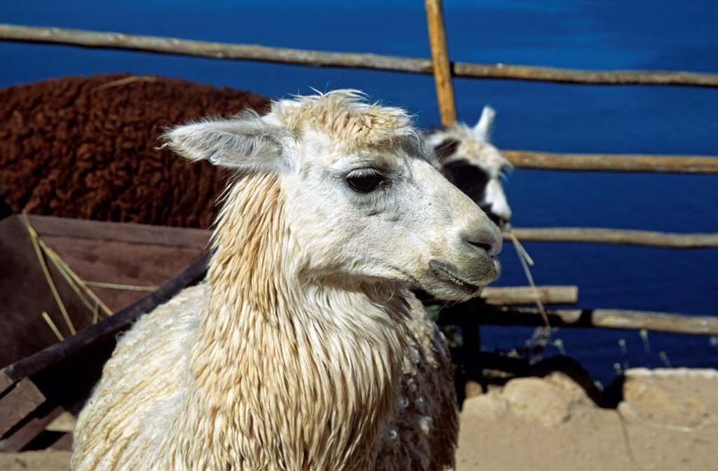 Stock Photo: 4290-10124 Llama on Sun Island, Inti Wata Cultural Complex, Lake Titicaca, near Copacabana, Bolivia