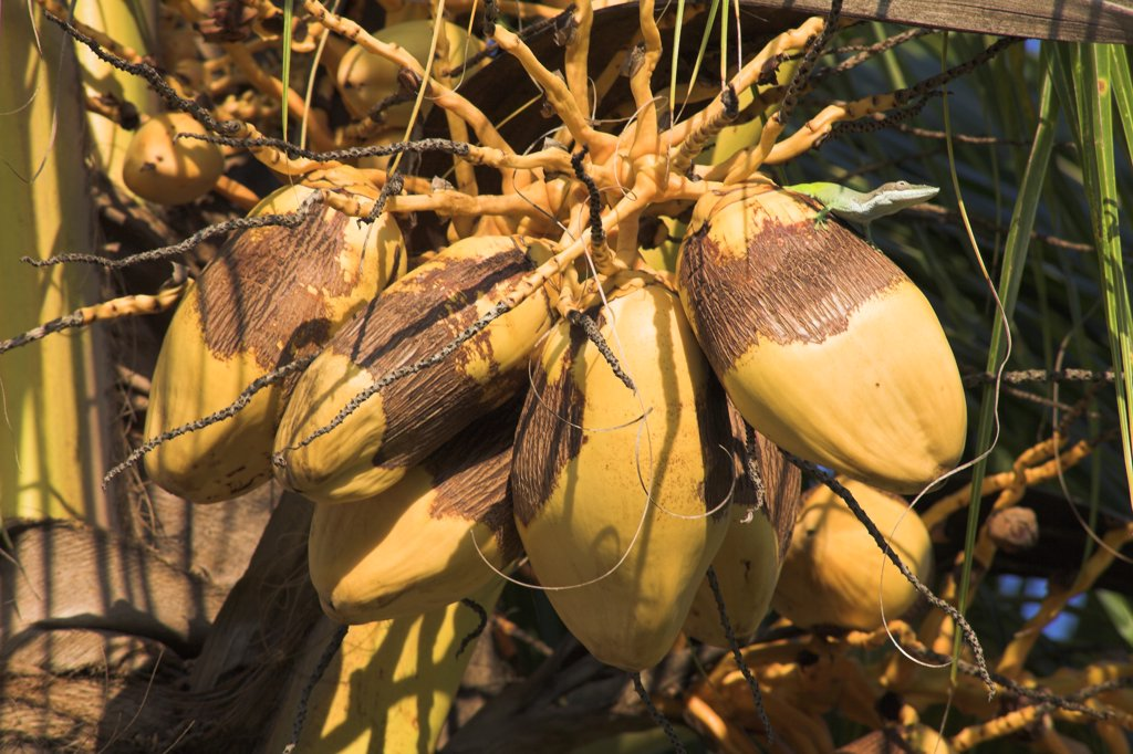 Stock Photo: 4290-1406 Coconuts growing on a palm tree, Guardalavaca, Holguin Province, Cuba
