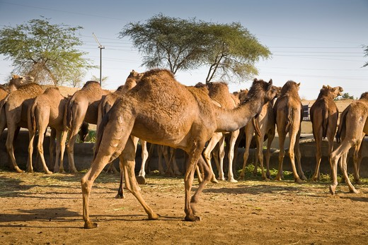 Stock Photo: 4290-1857 Camels at the National Camel Research Centre, Jorbeer, Bikaner, Rajasthan, India