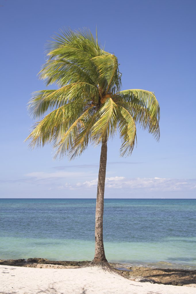 Palm tree growing on a beach, Guardalavaca, Holguin Province, Cuba : Stock Photo