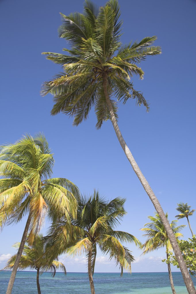 Stock Photo: 4290-2598 Palm trees growing on a beach, Guardalavaca, Holguin Province, Cuba
