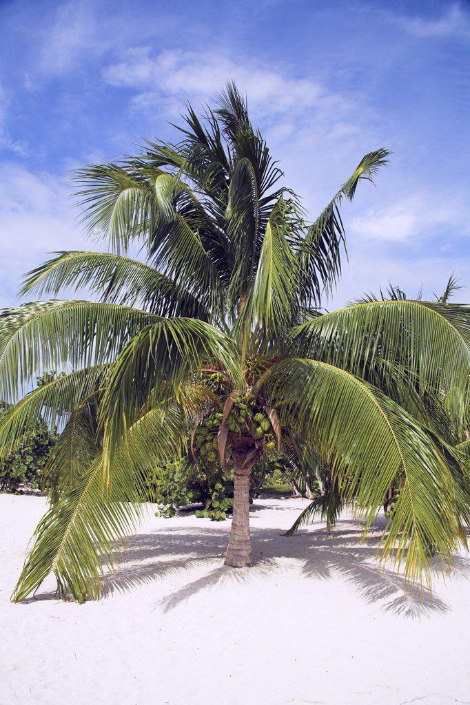 Stock Photo: 4290-2840 Palm tree growing on a white sandy beach, near Trinidad, Sancti Spiritus Province, Cuba