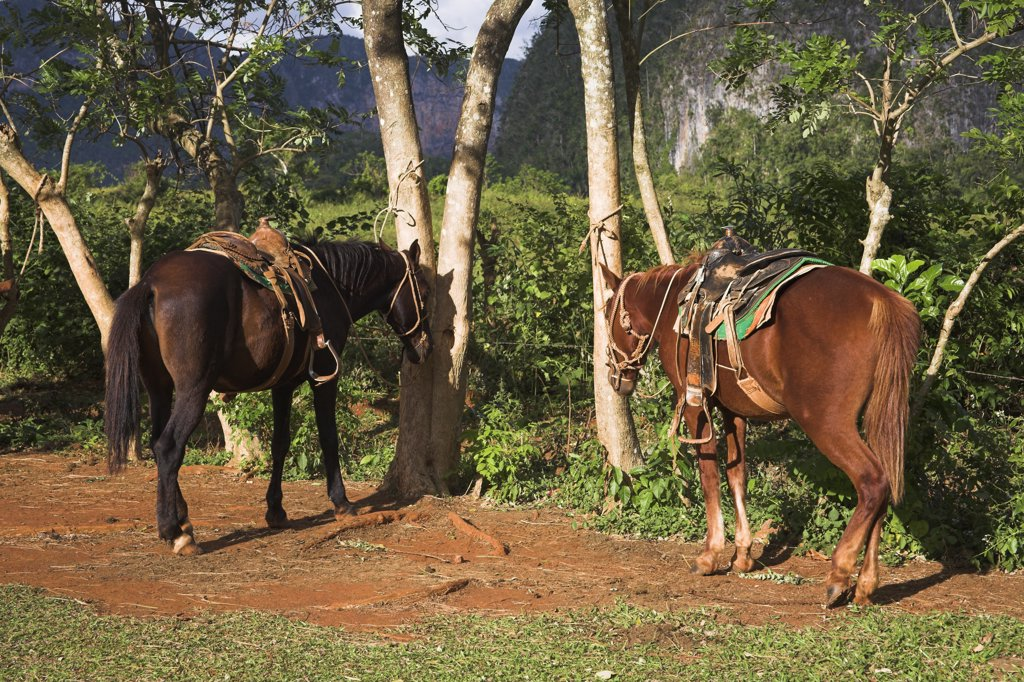 Stock Photo: 4290-2983 Two horses standing beside trees in field, Vinales Valley, Pinar Del Rio Province, Cuba