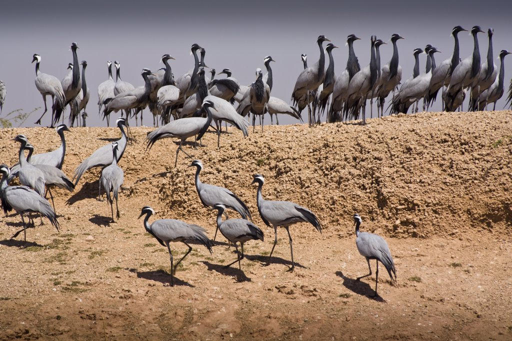 Demoiselle cranes, Keechen, near Phalodi, Rajasthan, India : Stock Photo