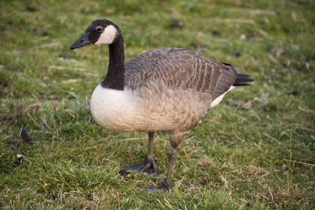 Stock Photo: 4290-4134 Canada Goose, Branta Canadensis, England