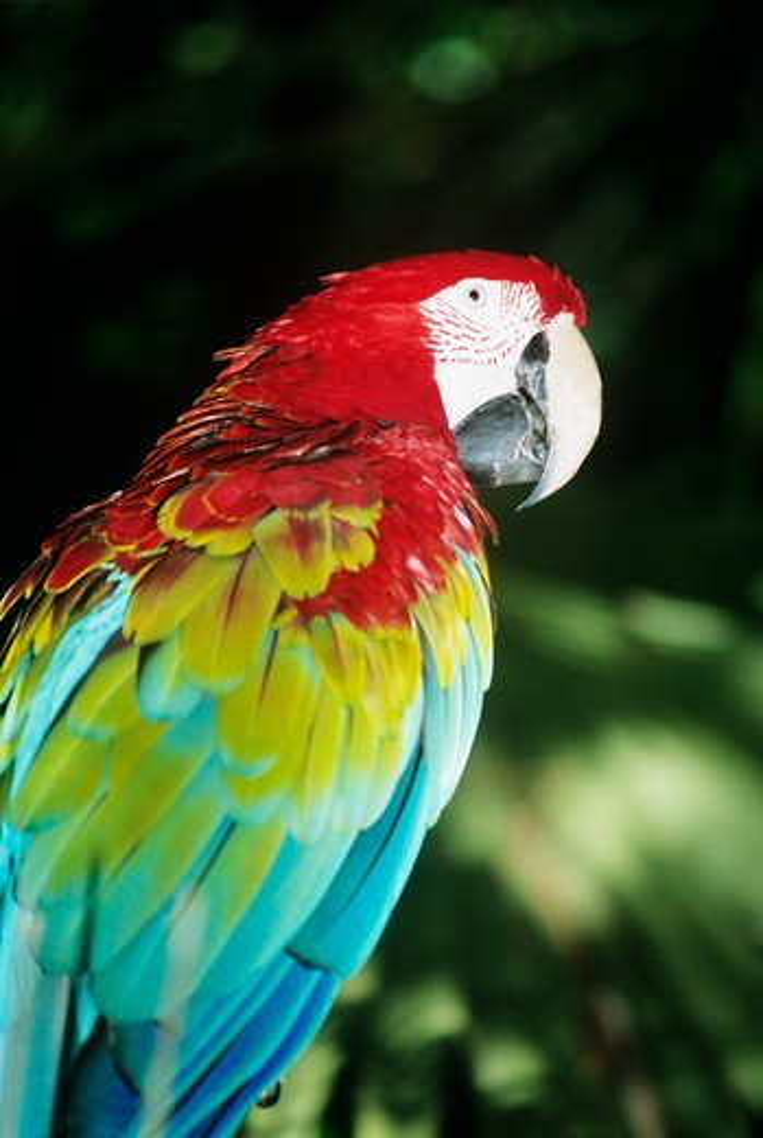 Colourful parrot, Audubon Zoo, New Orleans, Louisiana, USA : Stock Photo