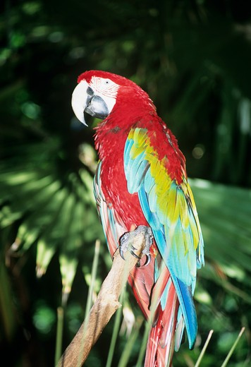 Stock Photo: 4290-5580 Colourful parrot perched on branch of tree, Audubon Zoo, New Orleans, Louisiana, USA