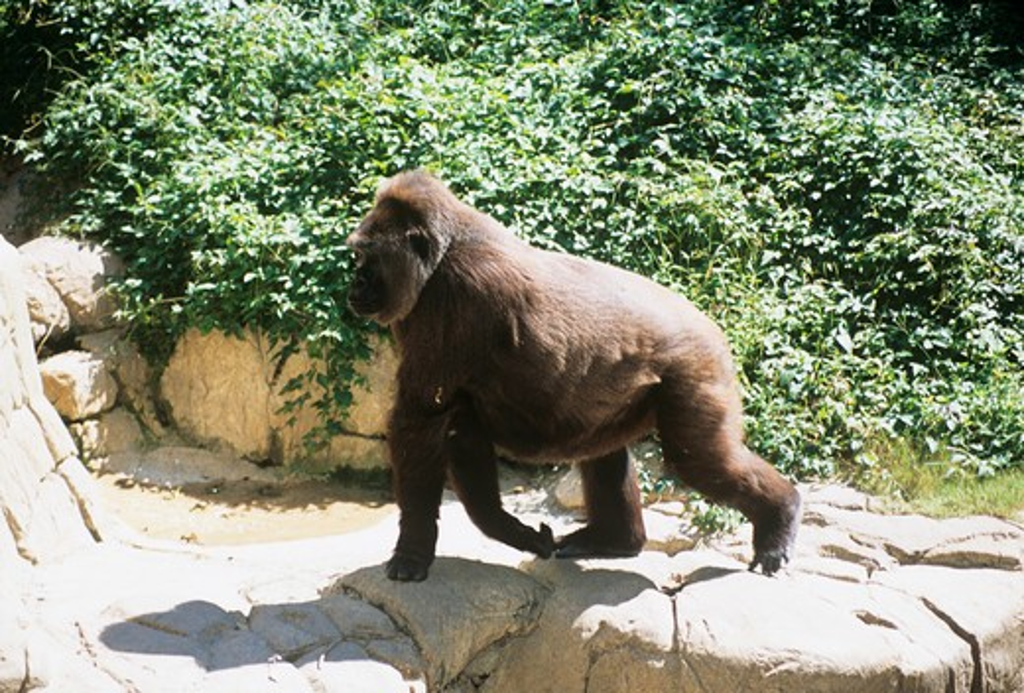 Stock Photo: 4290-5585 Gorilla, Audubon Zoo, New Orleans, Louisiana, USA