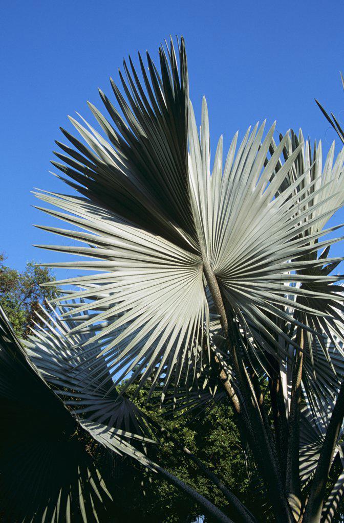Stock Photo: 4290-5810 Palm tree leaves, Bangkok, Thailand