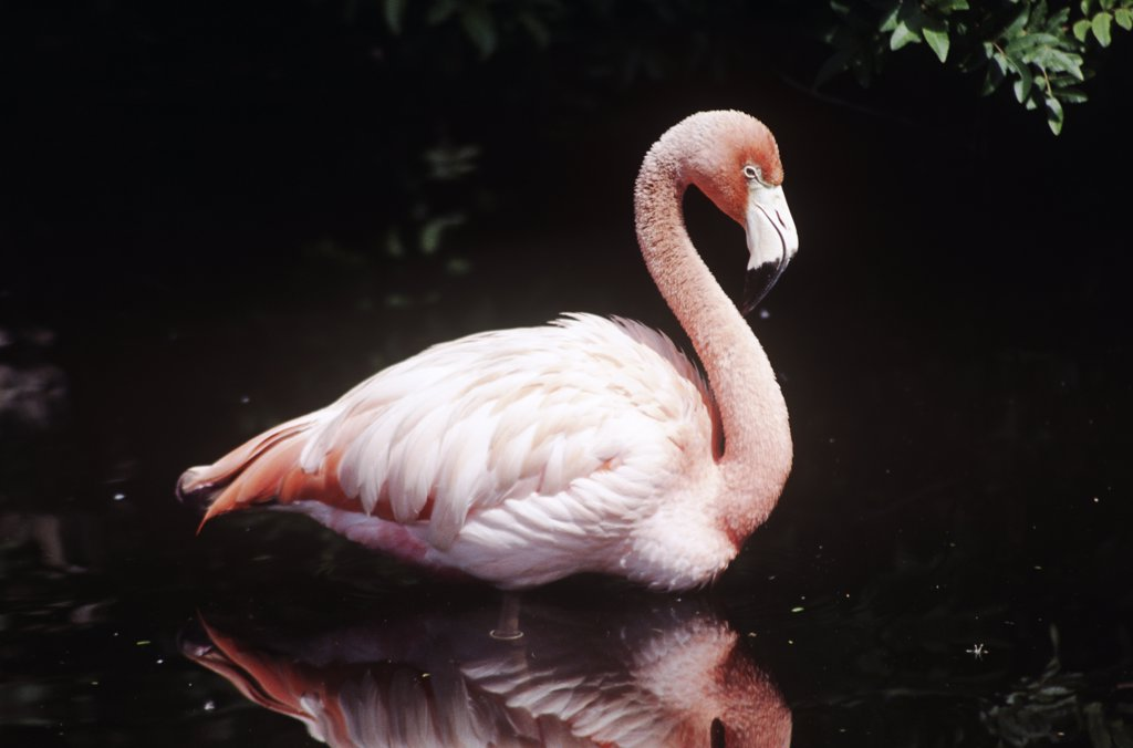 Flamingo standing in a river, Florida, USA : Stock Photo