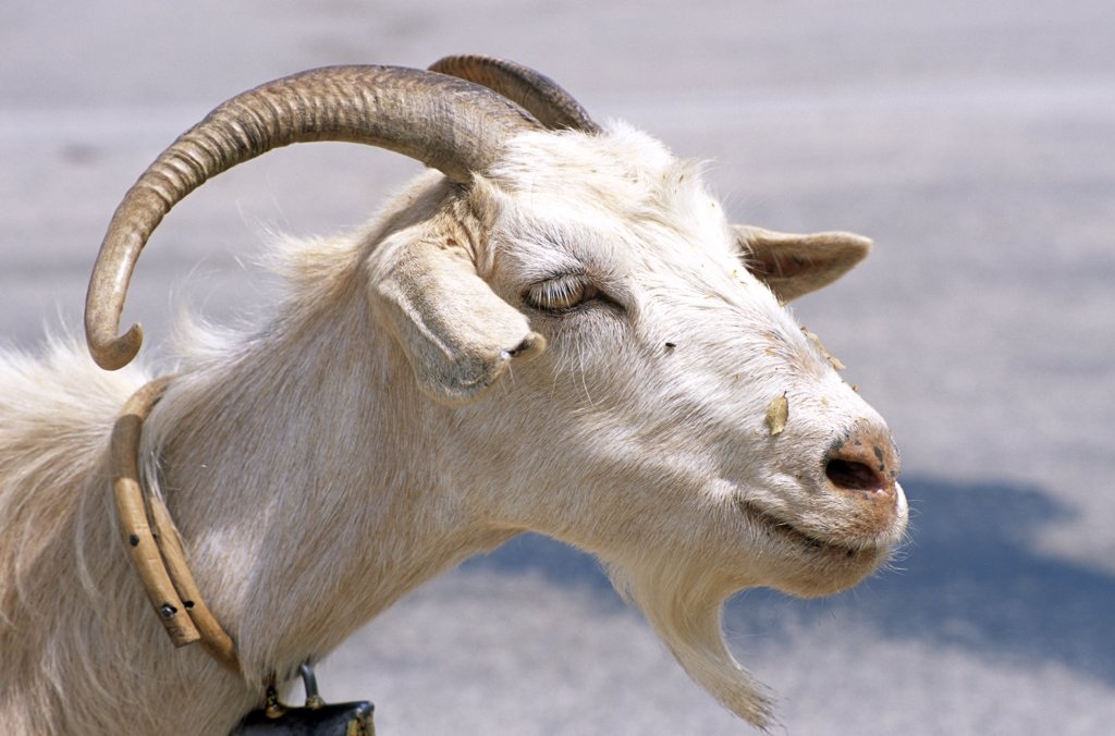 Stock Photo: 4290-6904 Goat, Kefalonia, Greece