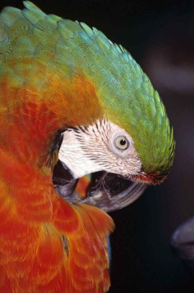 Stock Photo: 4290-7051 Colourful red and green parrot preening itself, Animal Kingdom, Florida, USA