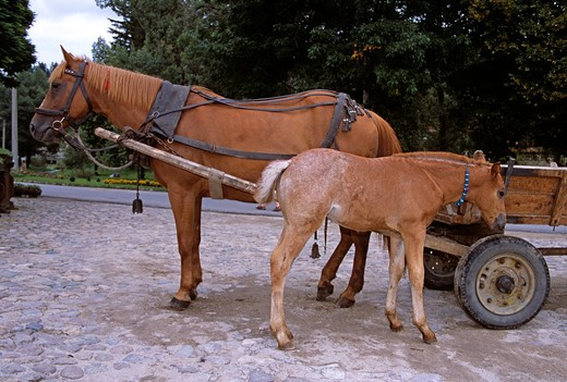 Stock Photo: 4290-7166 Horse, Foal, Cart, Koprivshtitsa, Bulgaria