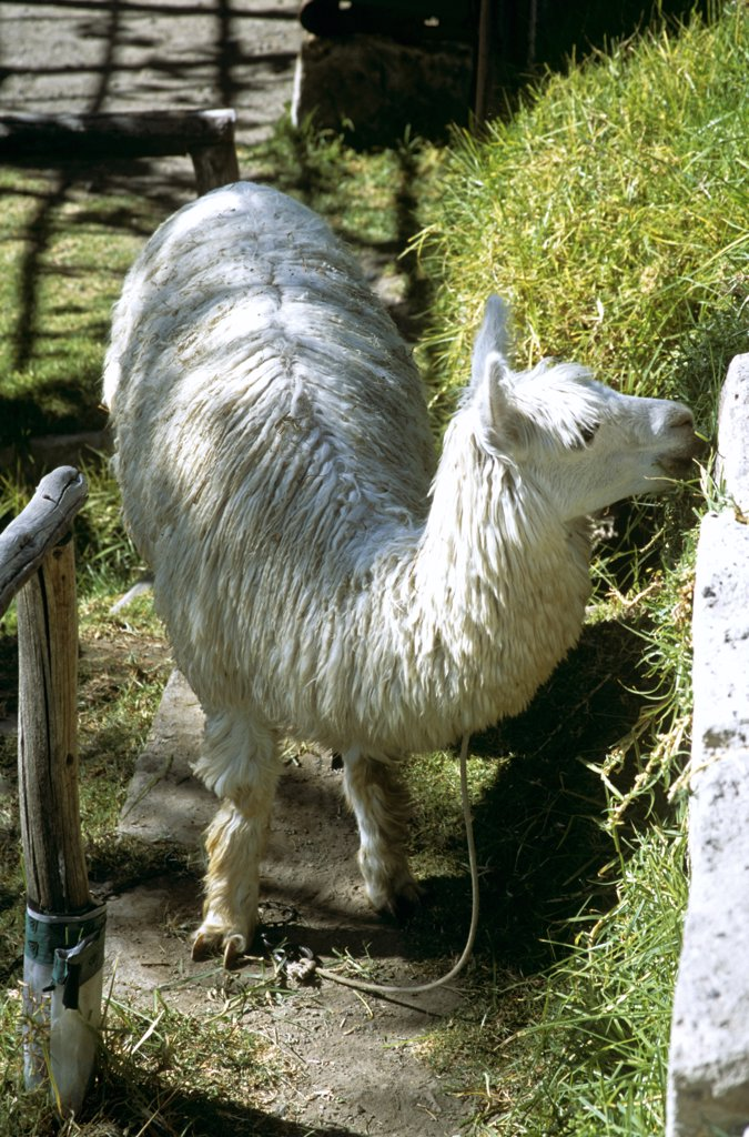 Alpaca grazing, Arequipa, Peru : Stock Photo