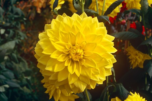 Stock Photo: 4290-8752 Yellow dahlia in the gardens of Hever Castle, near Edenbridge, Kent, England